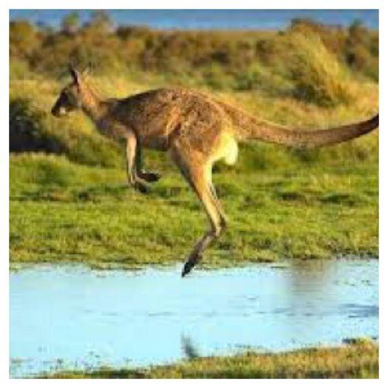 Kangaroos - travelvivi.com
