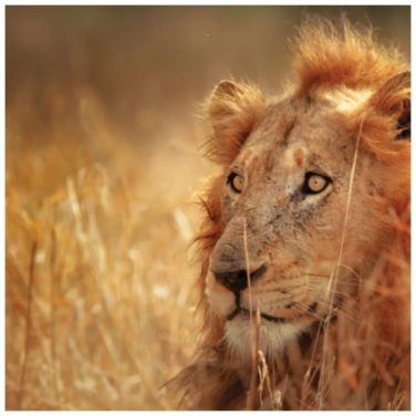 Lions in South Africa - realgap.co.uk
